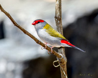 The Red-browed finch (Neochmia temporalis)