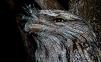 Feel extremely lucky tonight. This Tawny Frogmouth was in the fr