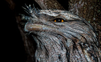 The Tawny Frogmouth.