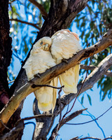 Corella's at Gunnedah, NSW